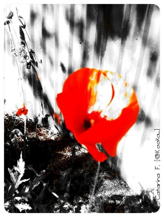 Papoilas. Ou manchas de vermelho paixão.